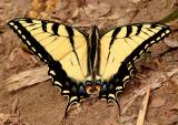 Eastern Tiger Swallowtail (Papilio glaucus) male