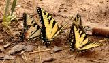Swallowtail Gathering