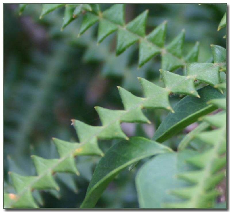 Banksia leaves
