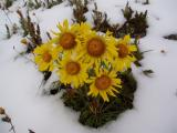 sunflowers on snow