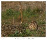 Burrowing Owl at the Sunnyvale Baylands