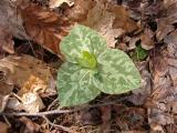 Trillium cuneatum