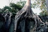 Ta Phrom(Angkor). The jungle fights back.