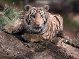 Baby Bengal Tiger at 9 Months
