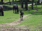 agnes - 1 week old at Hamilton Rare Breeds Foundation -1