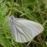 Mustard White -- Pieris oleracea oleracea butterfly