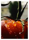Wet Tomatoby cgesteland