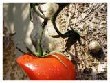 Tomato Treeby cgesteland
