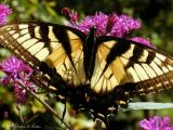 Eastern Tiger Swallowtail Butterflies ~ WV
