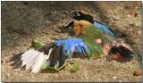 Blue-winged Pitta - more sun