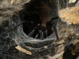 Tasmanian Funnelweb
