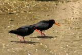 variegated oyster catchers