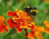 Turkish bee