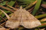 Scotopteryx-chenopodiata .jpg