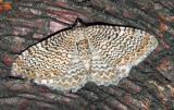 Rheumaptera-undulata .jpg