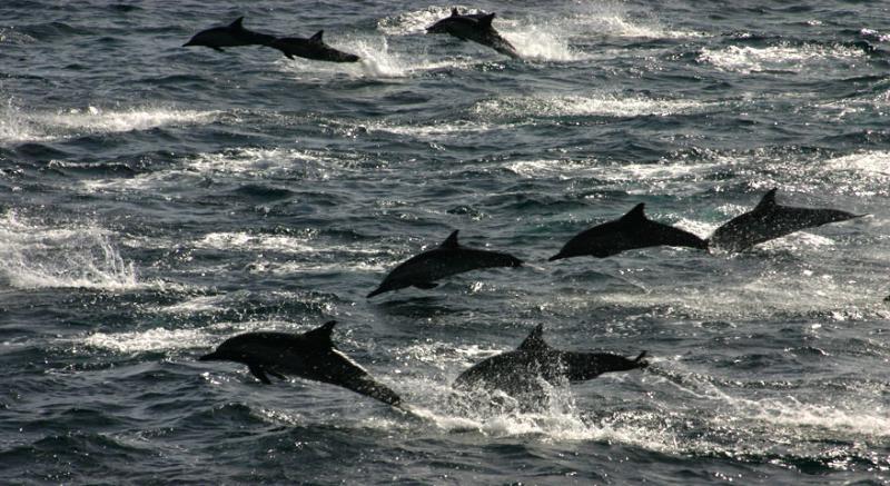 SpeedingDolphins.jpg
