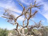 Desert Tree Outside Tucson, AZ (dscn5657b)