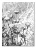 The Thistle Patch