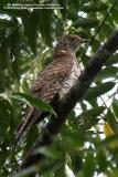 Oriental Cuckoo (a hepatic female)  Scientific name - Cuculus saturatus  Habitat - Uncommon in forest and edge.