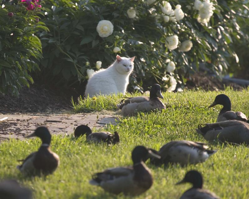 Ducks - Cat