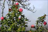 camellia in the mist
