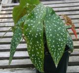 Begonia Sloop John B