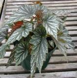 Begonia Elizabeth Lahn