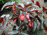 Begonia Down Home