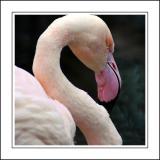 Flamingo ~ Birdland, Bourton-on-the-Water, Cotswolds