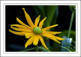 Spindly yellow flower