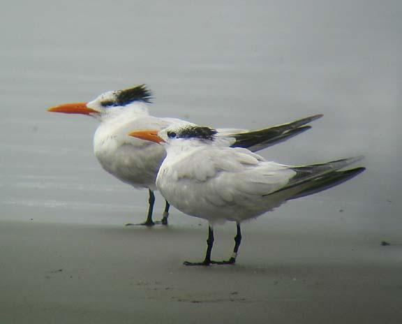 Royal Terns, Jenness Beach, Rye, NH, August 15, 2004