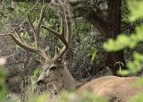 Deer Resting Near Riggins