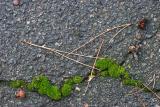 2004-12-08: Moss in Asphalt