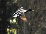 Duck leaving