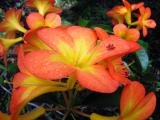 Gold Rhododendrons