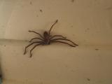 Huntsman spider.