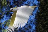 Sulphur crested cockatoo  in flight