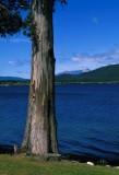 Tree in Te Anau