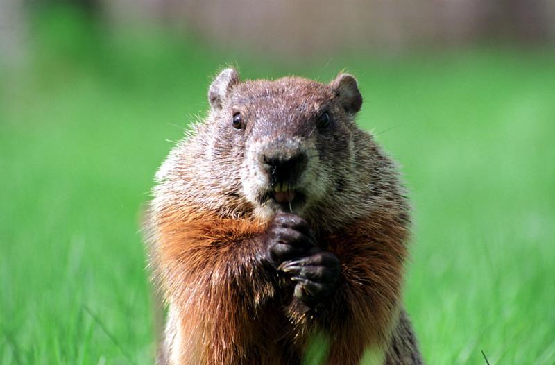 Friendly groundhog
