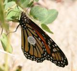 tagged Monarch - Danaus plexippus