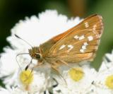 Common Branded Skipper - Hesperia comma