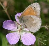 Common Ringlet - Coenonympha tullia