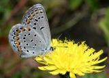 Karner Blue - Lycaeides melissa