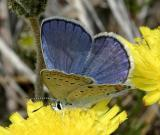 Karner Blue - Lycaeides melissa  male