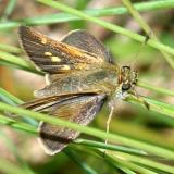 Tawny-edged Skipper - Polites themistocles, female