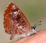 Harvester -  Feniseca tarquinius on my hand