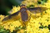 Tawny-tailed Bee Fly - Villa fulviana