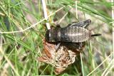 Fall Field Cricket - Gryllus pennsylvanicus (female nymph)