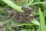 baby Baltimore Checkerspots - Euphydryas phaeton