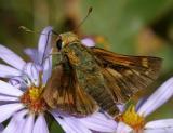 female Fiery Skipper - Hylephila phyleus